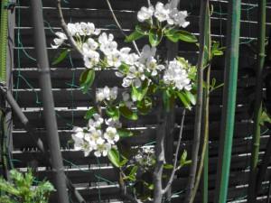 ラ・フランスの花